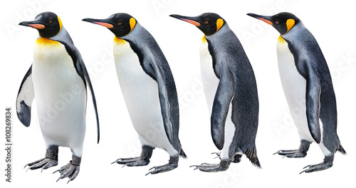 Photo King Penguin in various poses isolated on white with clipping path