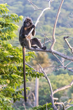 The Javan Lutung (Trachypithecus Auratus), Also Known As The Ebony Lutung And Javan Langur In East Java Forest