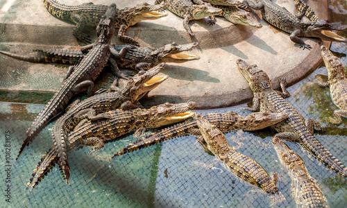 Poster Crocodile Alligator in farm