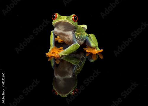 Tuinposter Kikker Red Eyed Tree Frog on with reflection