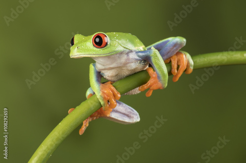Tuinposter Kikker Red Eyed Tree Frog on Bamboo
