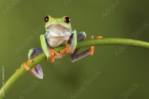 Spoed Foto op Canvas Kikker Red Eyed Tree Frog on Bamboo