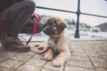 Leonberger Puppy And Owner By ...