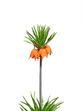Crown Imperial, Imperial Fritillary Flower Isolated- Fritillaria Imperialis