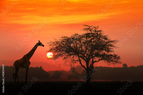 Staande foto Afrika Red sunset with silhouetted African Acacia tree and a giraffe.