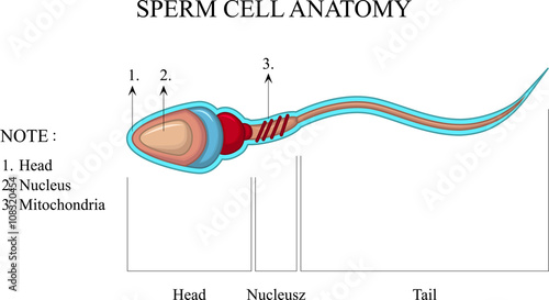 Human Sperm cell Anatomy - Buy this stock vector and explore similar ...