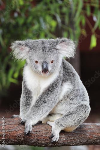 Foto op Plexiglas Koala Koala (Phascolarctos cinereus)