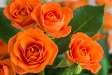 Orange Shrub Rose Bush