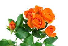 Orange Shrub Rose Bush