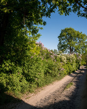 Lilac Bushes And Dirt Road
