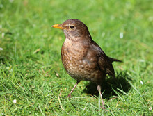 Close Up Of A Female Blackbird In Spring