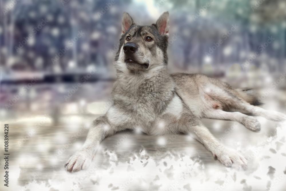Fotografía Lobo / Retrato de lobo en la nieve de fondo. | Europosters.es