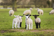 Spring Lambs Baby Sheep In A F...