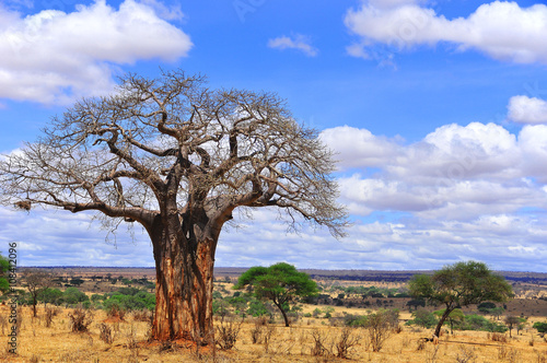 Deurstickers Baobab Baobab or boab, boaboa, bottle tree, upside-down tree, and monkey bread tree Tarangire National Park is the sixth largest national park in Tanzania after Ruaha, Serengeti, Mikumi, Katavi and Mkomazi