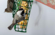 Little Black Capped Chickadee ...