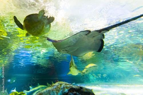 Manta Ray Underwater Fototapeta