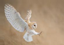 Barn Owl In Flight Just Before...