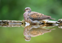 Turtle Dove Sitting On The Rim Of Drinking Pond, With Reflection, Clean Background, Hungary, Europe