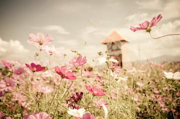 Fototapeta Polecane Vintage cosmos flower.