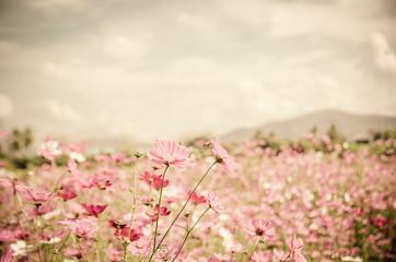 Fototapeta Vintage cosmos flower.