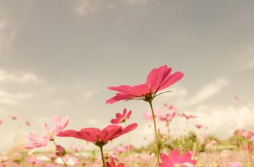 FototapetaVintage cosmos flower.