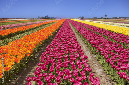 Tulips and windmill on a sunny day in The Netherlands