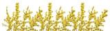 Fototapeta Kwiaty - Gałązki forsycji z zółtymi kwiatami na białym tle. Pięknie kwitnąca forsycja wczesną wiosną.