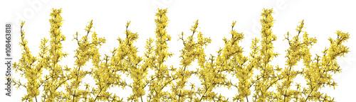 Obraz Gałązki forsycji z zółtymi kwiatami na białym tle. Pięknie kwitnąca forsycja wczesną wiosną. - fototapety do salonu