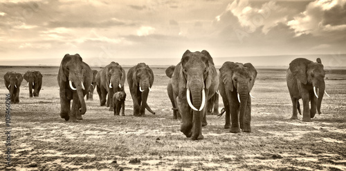 Papiers peints Elephant A herd of elephants walking group on the African savannah in the photos taken in the Amboseli reserve Kenya Africa