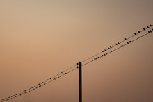 Flock Of Bird Over Electric Line