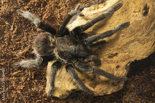 Fotografie, Obraz  Closeup of mexican black velvet tarantula