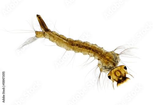 Fotografía  Mosquito (Aedes) larva