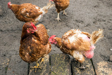 Hens Pecking, Feather Eating, Fighting, Hen Cannibalism