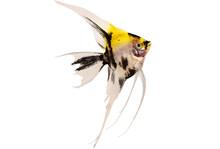 Koi Angelfish Pterophyllum Sca...