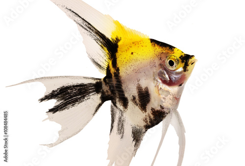 Photo Koi angelfish pterophyllum scalare aquarium fish isolated on white