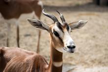 Portrait Of A Dama Gazelle