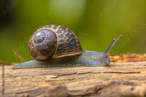 European brown garden snail