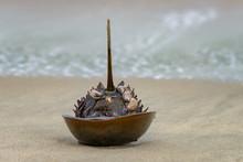 Horseshoe Crab Shell At Sandy Hook Beach