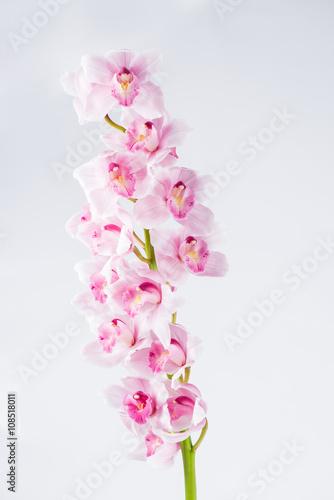 Fototapety, obrazy: Cymbidium orchid branch