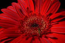 Close Up Of Red Daisy Gerbera Flower On Black Background. Lights