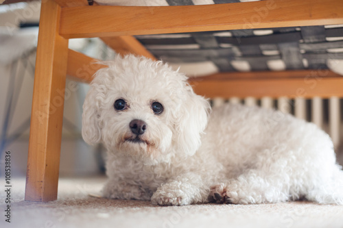 Cute white maltese dog hiding under sofa,  fearful and frightened #108538836