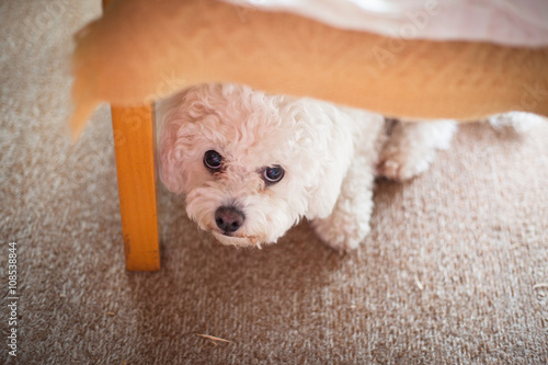 Cute white maltese dog hiding under sofa,  fearful and frightened #108538844