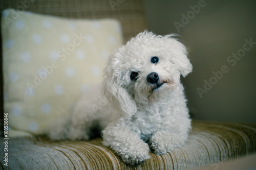 Cute white maltese dog lying at home on a sofa, tilting his head,  asking for your attention #108538846