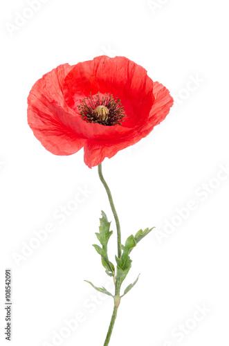Photo sur Toile Poppy single red poppy isolated on white