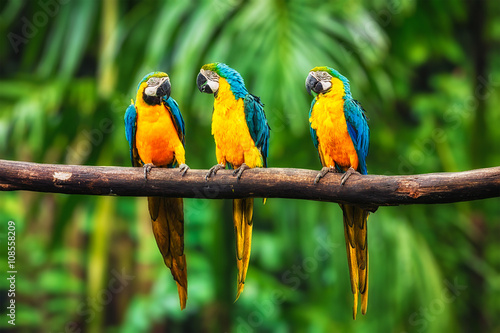 Foto op Canvas Papegaai Blue-and-Yellow Macaw in forest