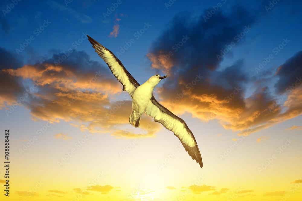 Fényképezés Wandering Albatross (Diomedea exulans) in flight at sunset