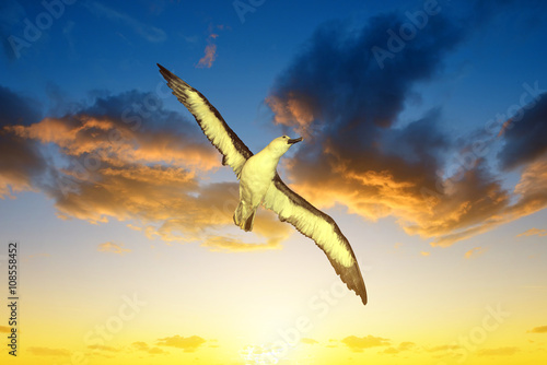 Fotografia, Obraz  Wandering Albatross (Diomedea exulans) in flight at sunset
