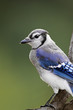 Blue Jay (Cyanocitta cristata) perched on a tree branch.