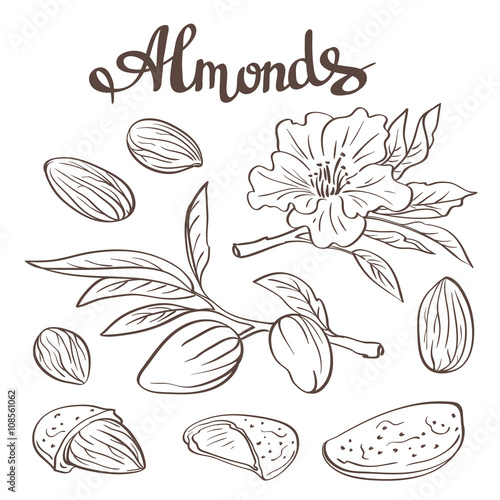Valokuva  Almonds with kernels, leaves and flower. Vector illustration.