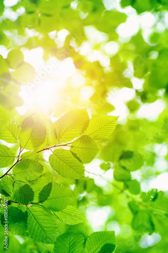Fototapeta green leaves obraz na płótnie